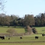 Field of cows with trees in the background near the Gallops