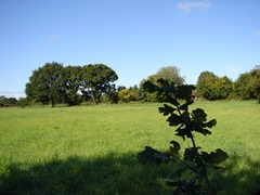Rough grass meadow with oak sapling in foreground and hedgerow trees in the distance