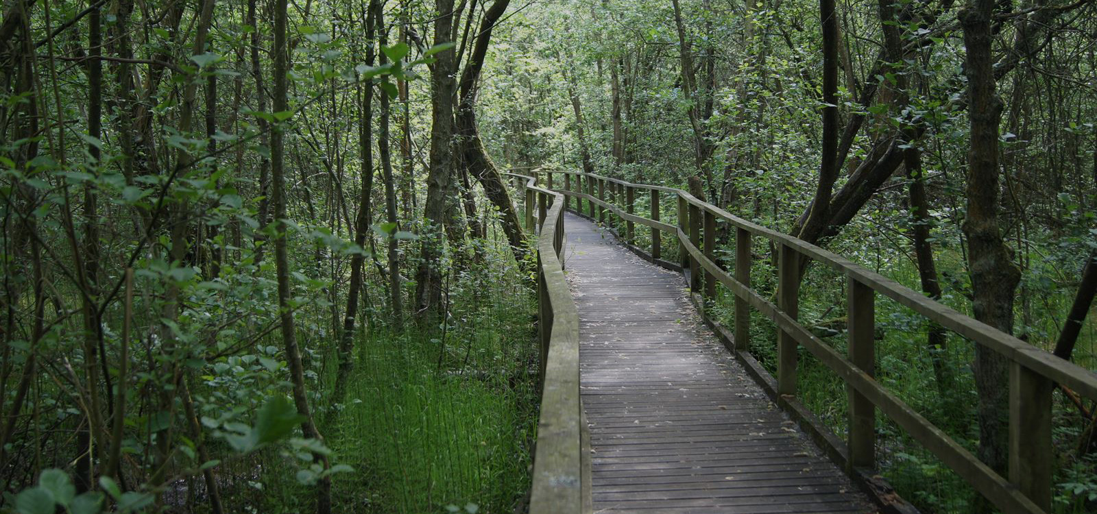 A boardwalk through a wooded wetland area at California Country Park