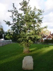Golden Jubilee Oak