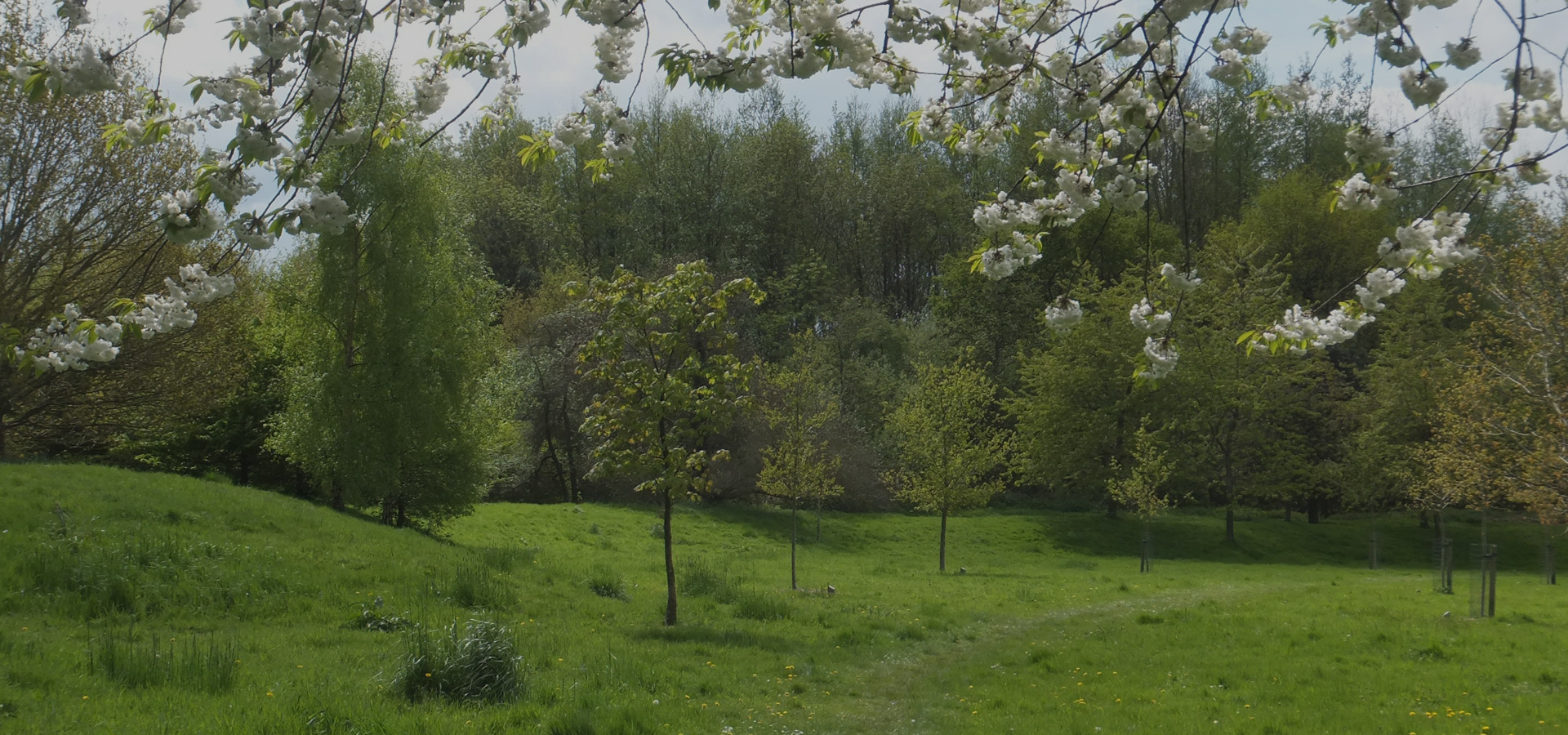 Trees and cherry blossom at Burnmoor Meadow