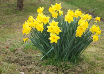 Clump of yellow trumpet daffodils