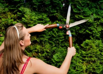Lady cutting coniferous hedge with shears