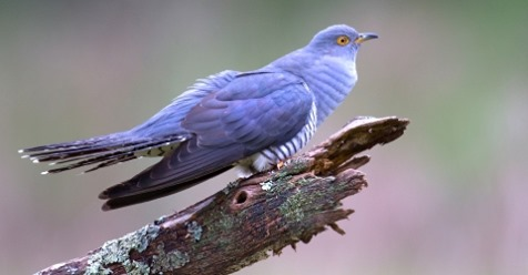 A blue Cuckoo on a branch