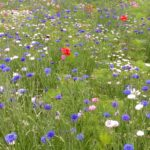 Wildflower meadow including blue cornflowers