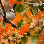Long tailed tit with autumn coloured oak leaves