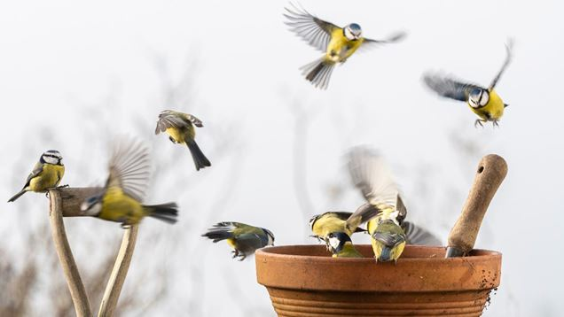 Blue tits flying around a flower pot