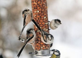 Long tailed tits on a peanut feeder