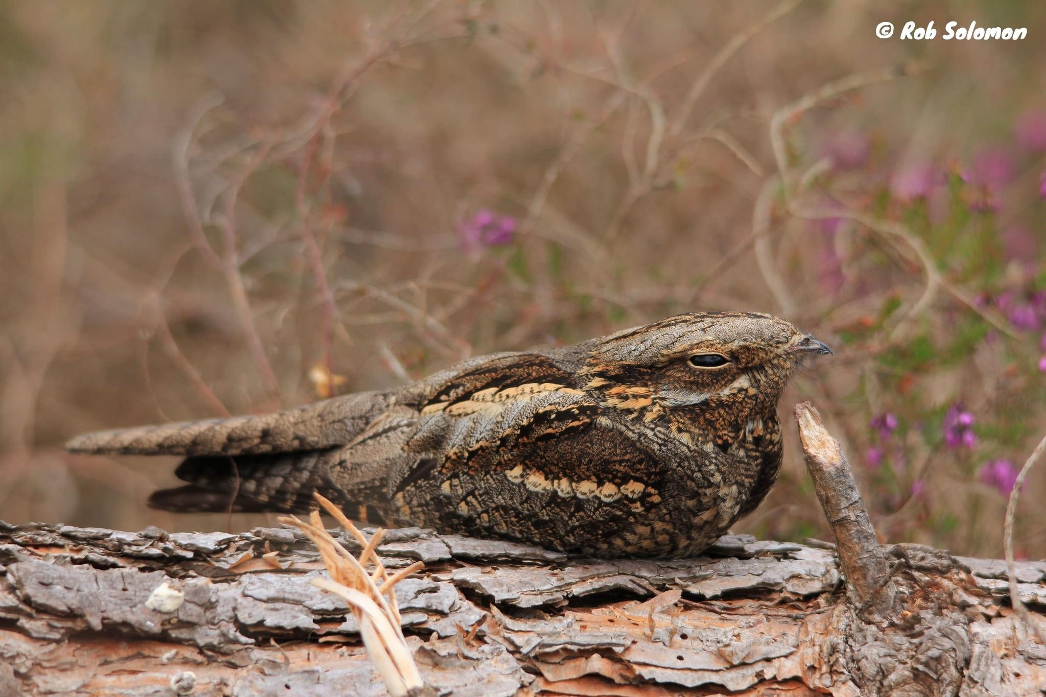 a nightjar bird sitting on a log