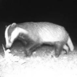 A badger walking