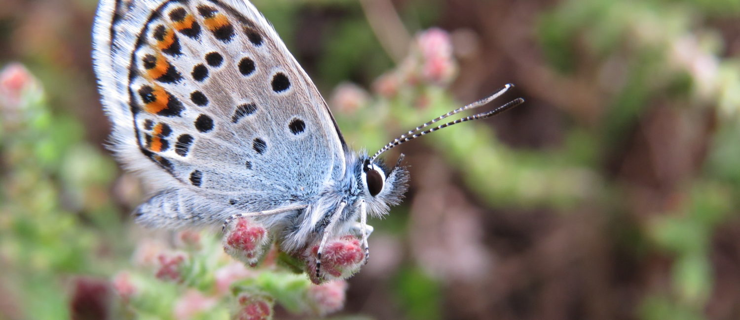 Silver studded blue butterfly with orange and black spots on its wings