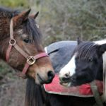 Head of brown horse with halter touching noses with small piebald horse with a long mane