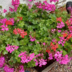 Old black recycling box planted with pink and red trailing geraniums