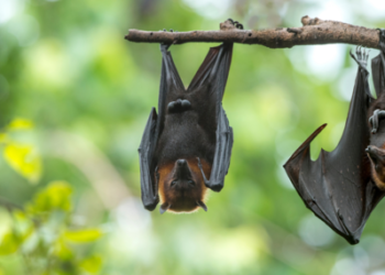 Two black bats hanging from a branch